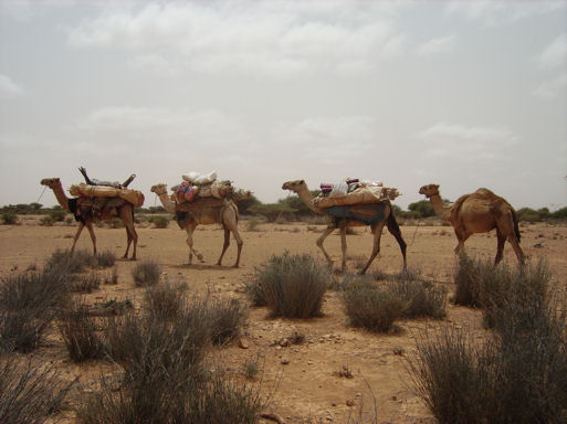 images/pack camels in sool plateau fatima.jpg